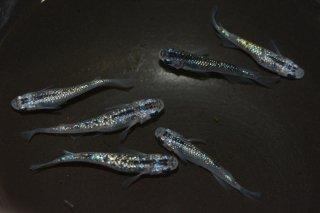 【現物】パープルブルーオーロララメ オス3匹メス3匹 No.0504-15S