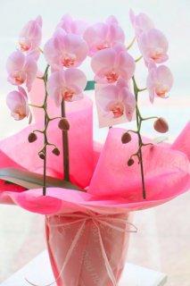 ミディ系胡蝶蘭ピンク