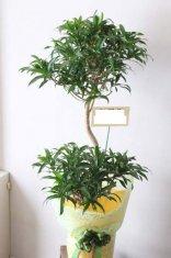 観葉植物ソングオブジャマイカ