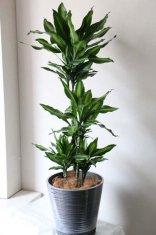 観葉植物ジェレ