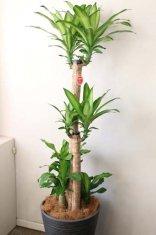 観葉植物幸福の樹マッサン