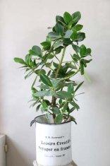観葉植物クルシア