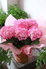 アジサイ鉢ピンク系