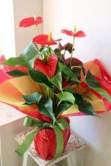 アンセリウムの鉢RED