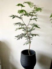観葉植物【エバーフレッシュ】