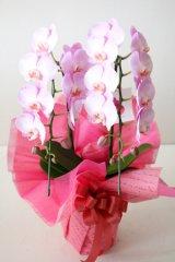 ミディ胡蝶蘭鉢2本立(ピンク)