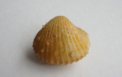 Agatized Bivalve