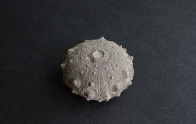 ウニの化石 Fossil Enchinoid