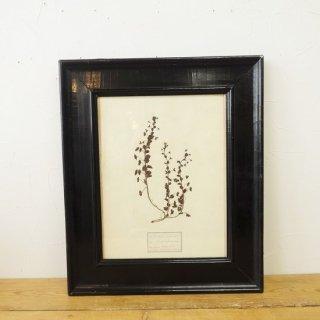 イギリス アンティーク 植物標本 ブラックフレーム A