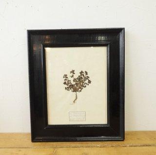 イギリス アンティーク 植物標本 ブラックフレーム B