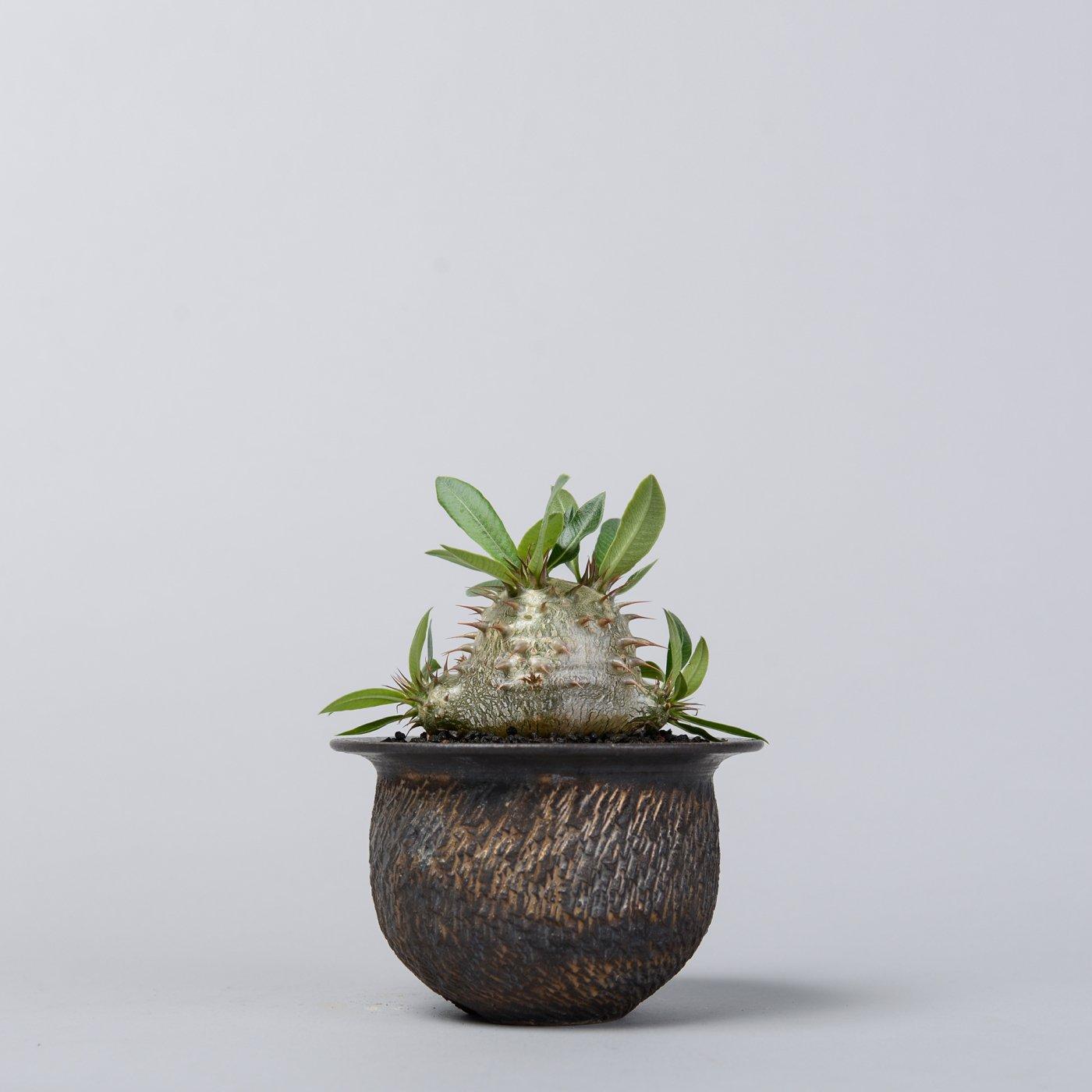 """Pachypodium makayense × """"GOUJIN""""POT"""