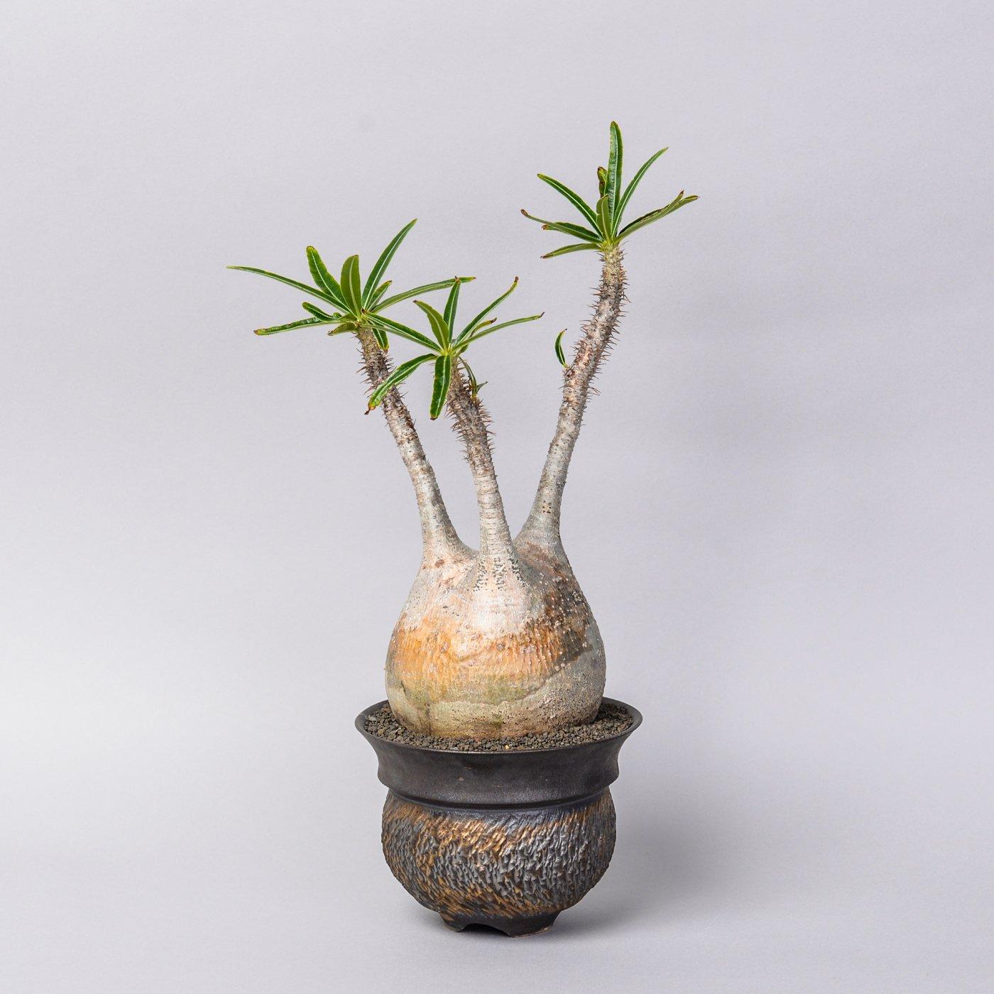 """Pachypodium gracilius × """"GOUJIN""""POT"""
