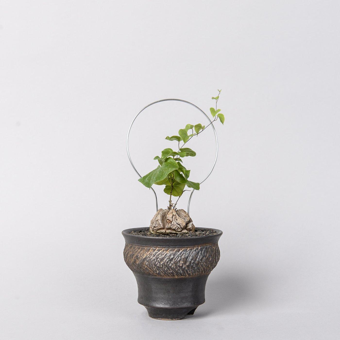 "Dioscorea elephantipes × ""GOUJIN""POT"