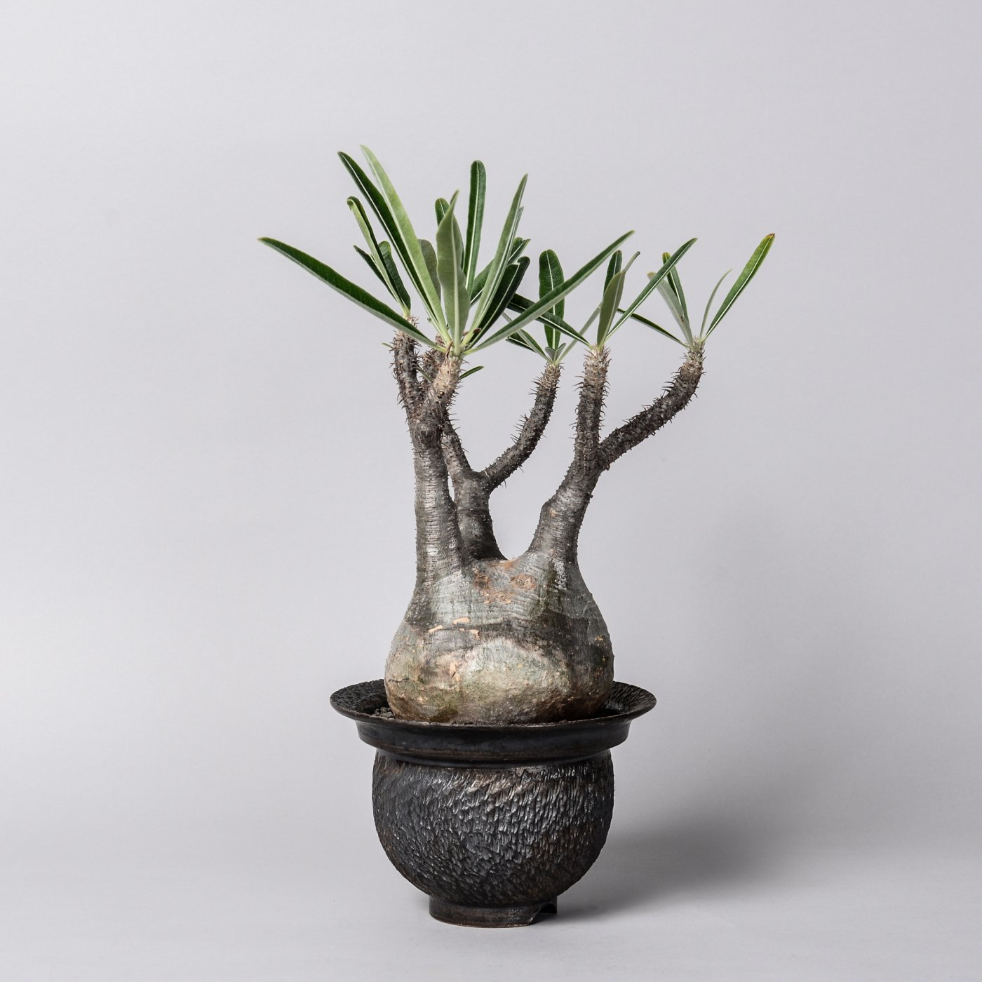 "Pachypodium gracilius  × ""GOUJIN""POT"