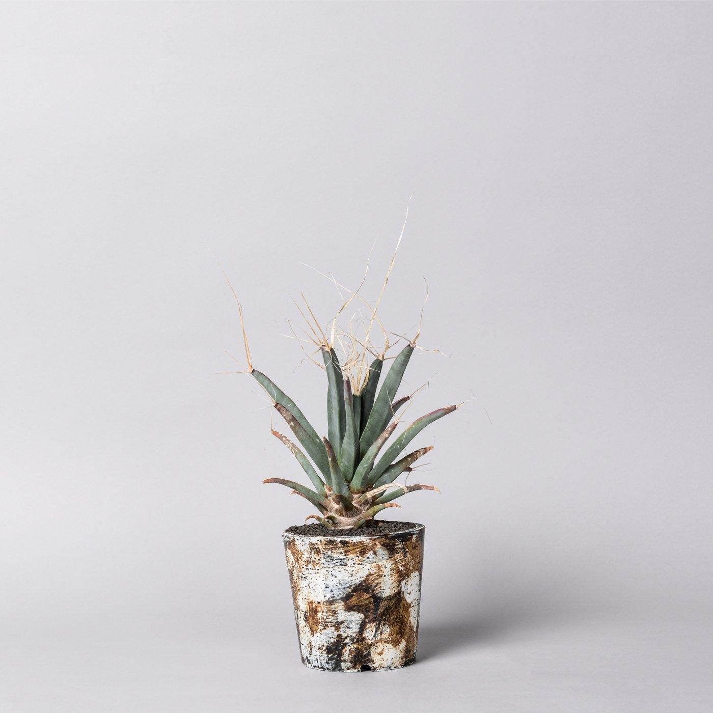 "Leuchtenbergia principis × ""sho-do""POT"