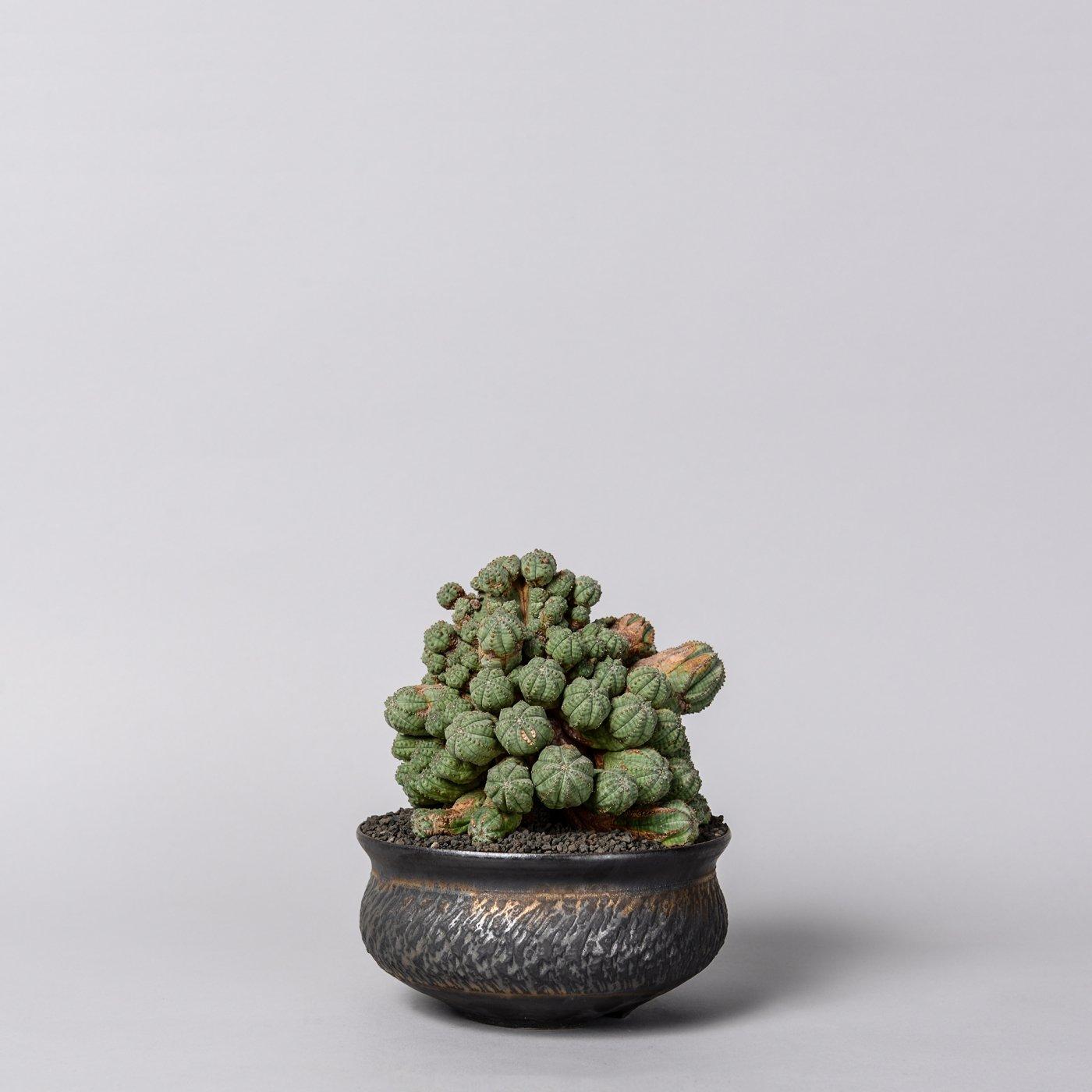 "Euphorbia obesa 'Prolifera' × ""GOUJIN""POT"
