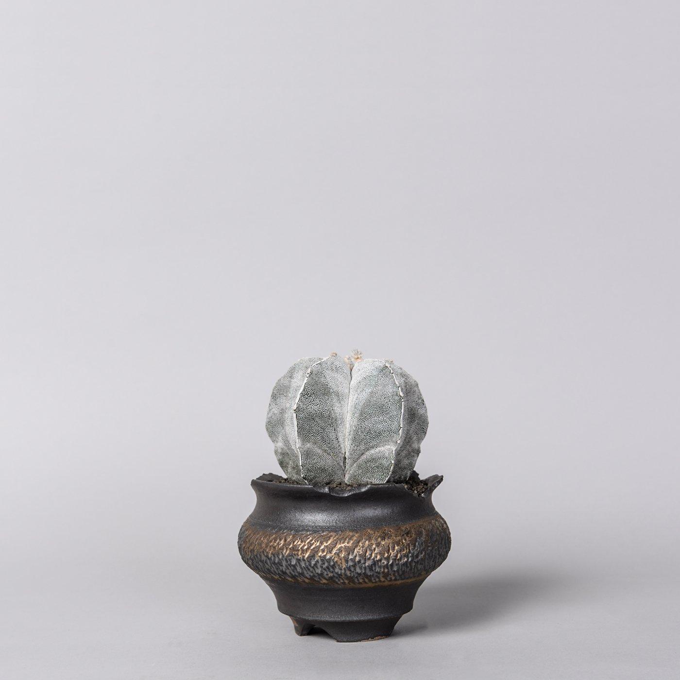 """Astrophytum myriostigma onzuka × """"GOUJIN""""POT"""