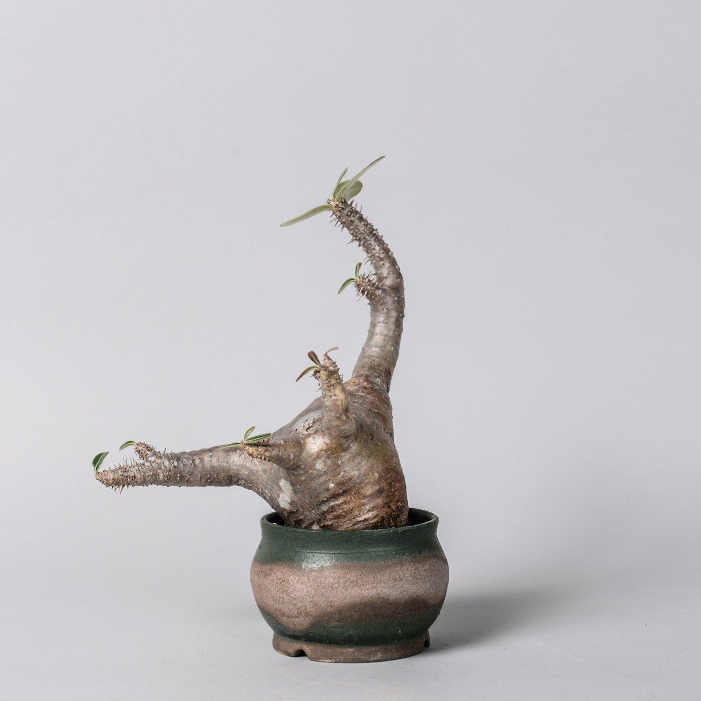 """Pachypodium makayense × """"YOKONISHIDA""""POT"""