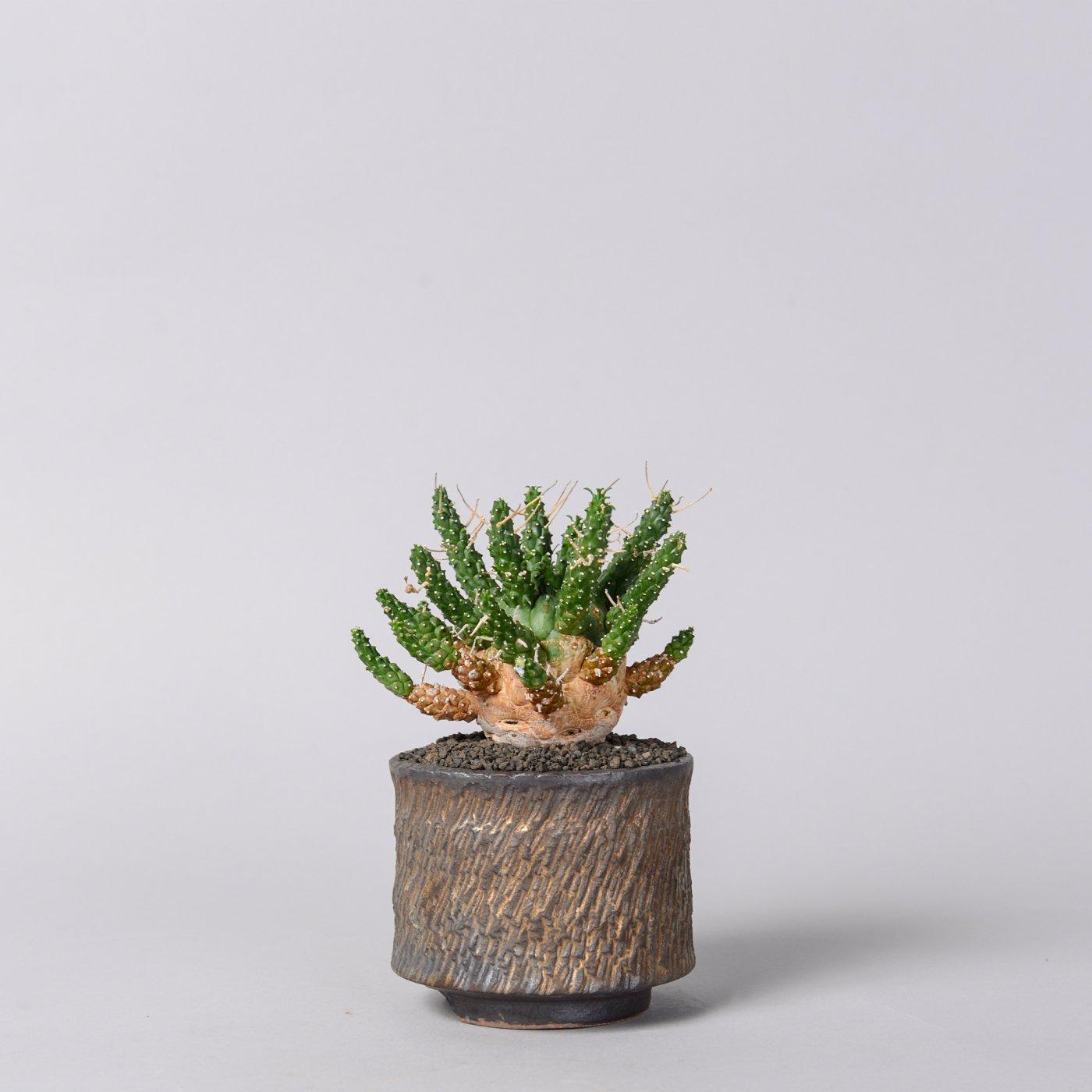 "Euphorbia gamkensis  × ""GOUJIN""POT"