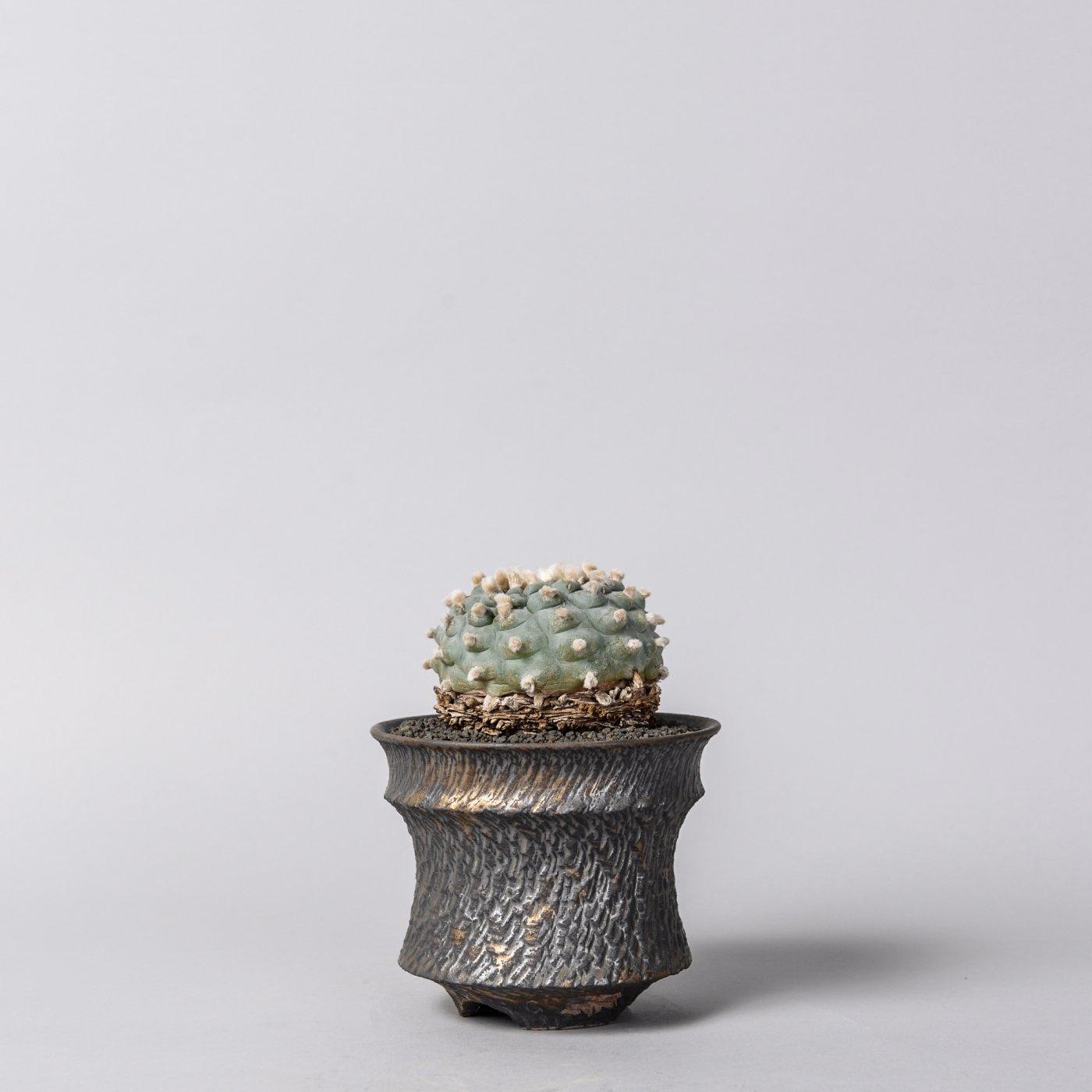 "Lophophora williamsii  × ""GOUJIN""POT"