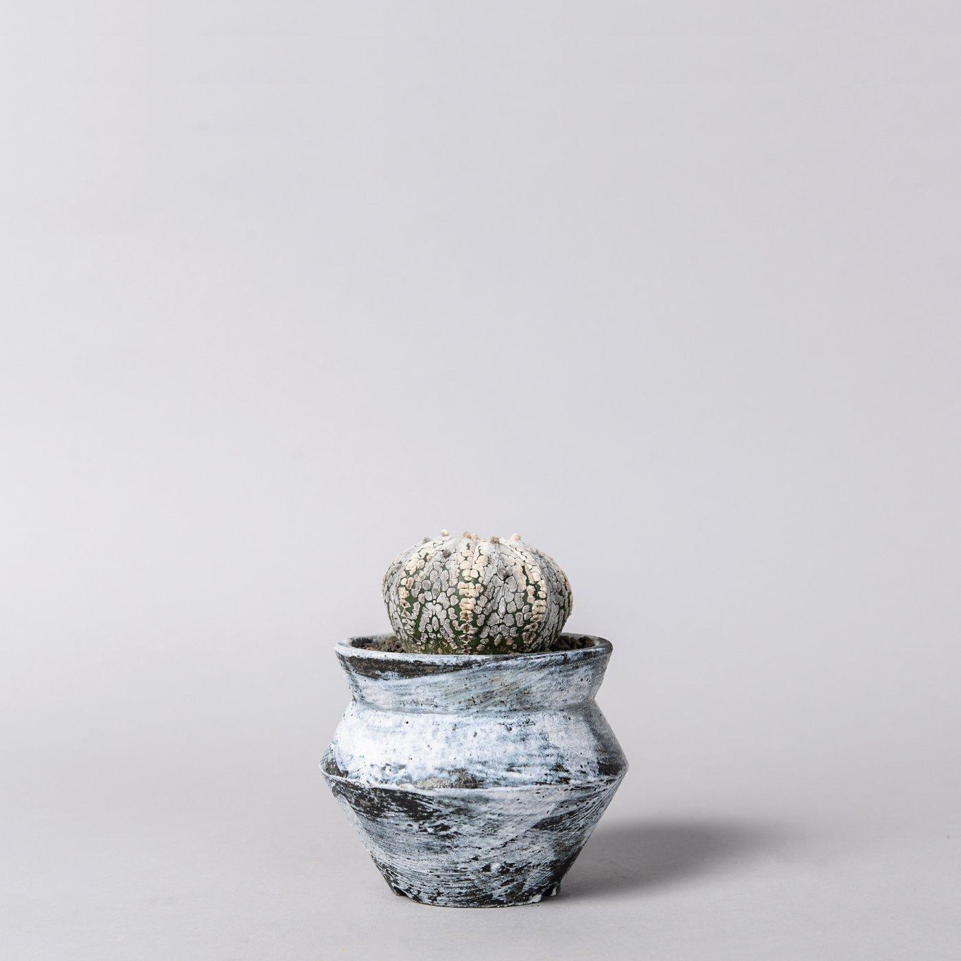 """Astrophytum asterias 'Super Kabuto'  × """"sho-do""""POT"""