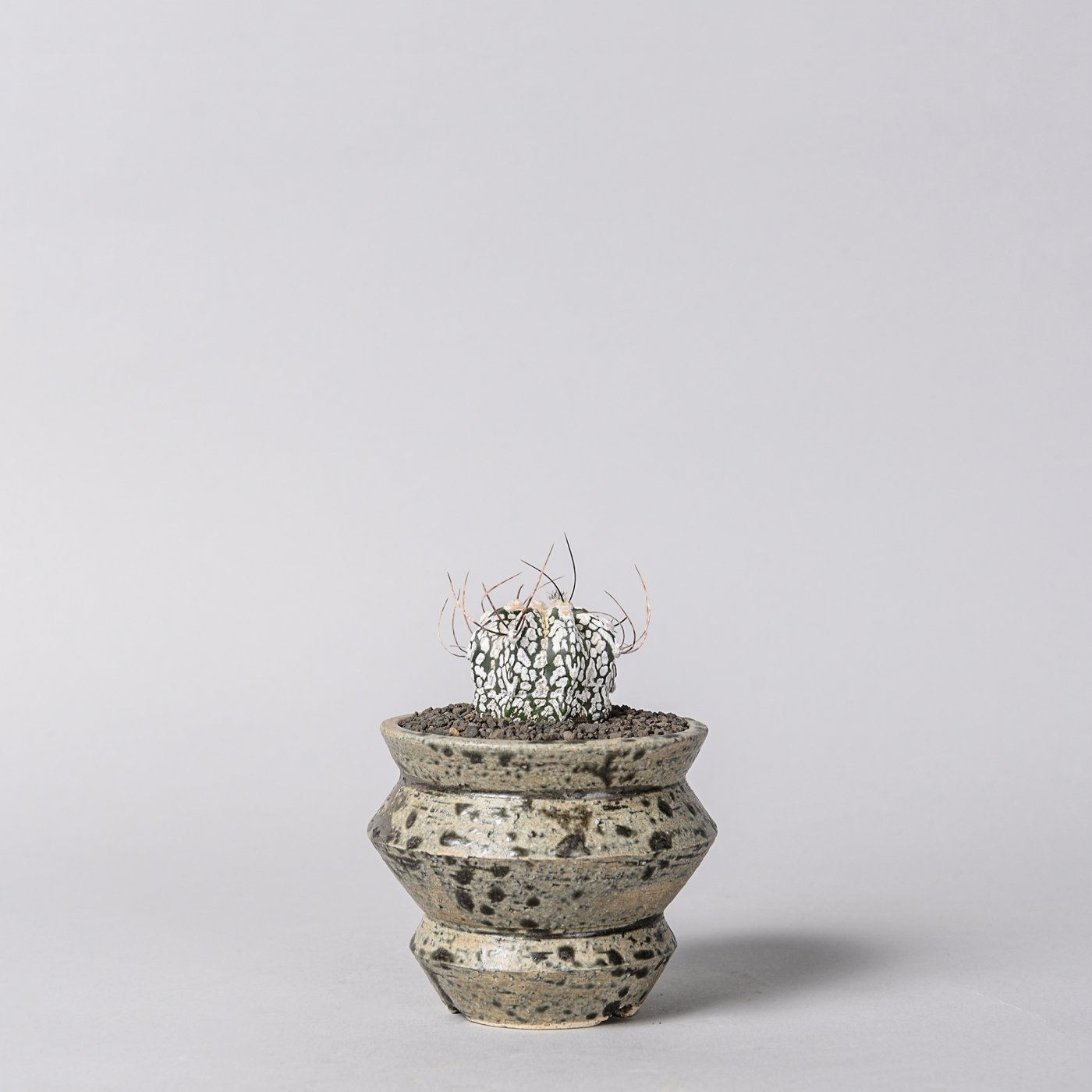 "Astrophytum capricorne × ""sho-do""POT"