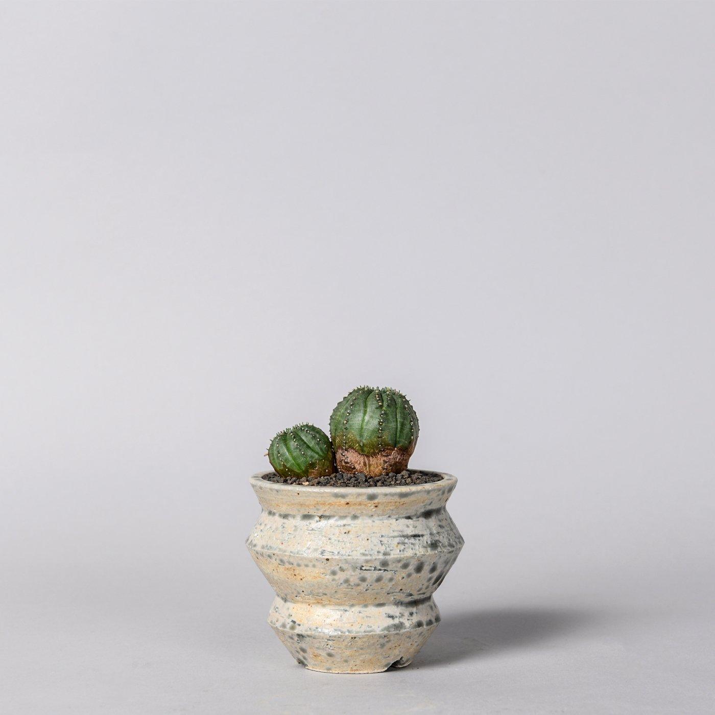 """Euphorbia obesa 'BONTEN' × """"sho-do""""POT"""
