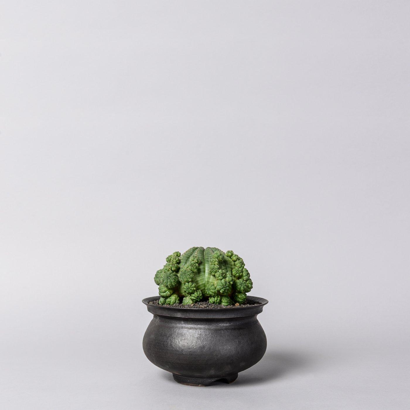 "Euphorbia obesa ssp. symmetrica  × ""GOUJIN""POT"