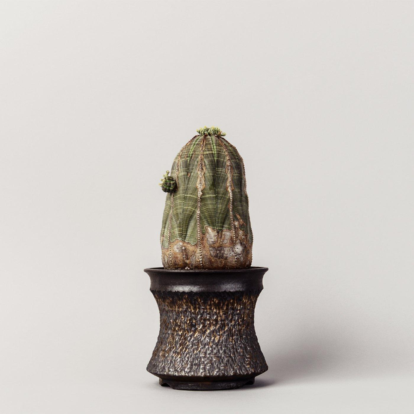 """Euphorbia obesa × """"GOUJIN""""POT"""