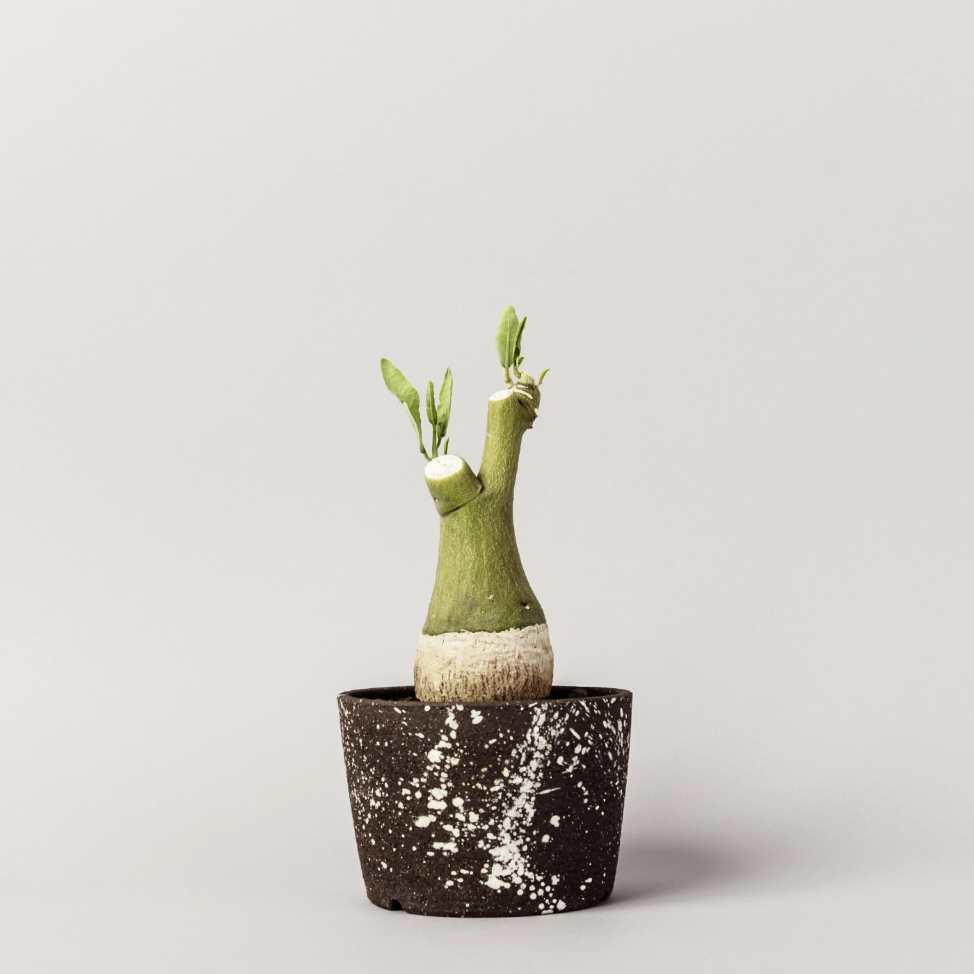 "Adenia pechuelii × ""NO NAME""POT"