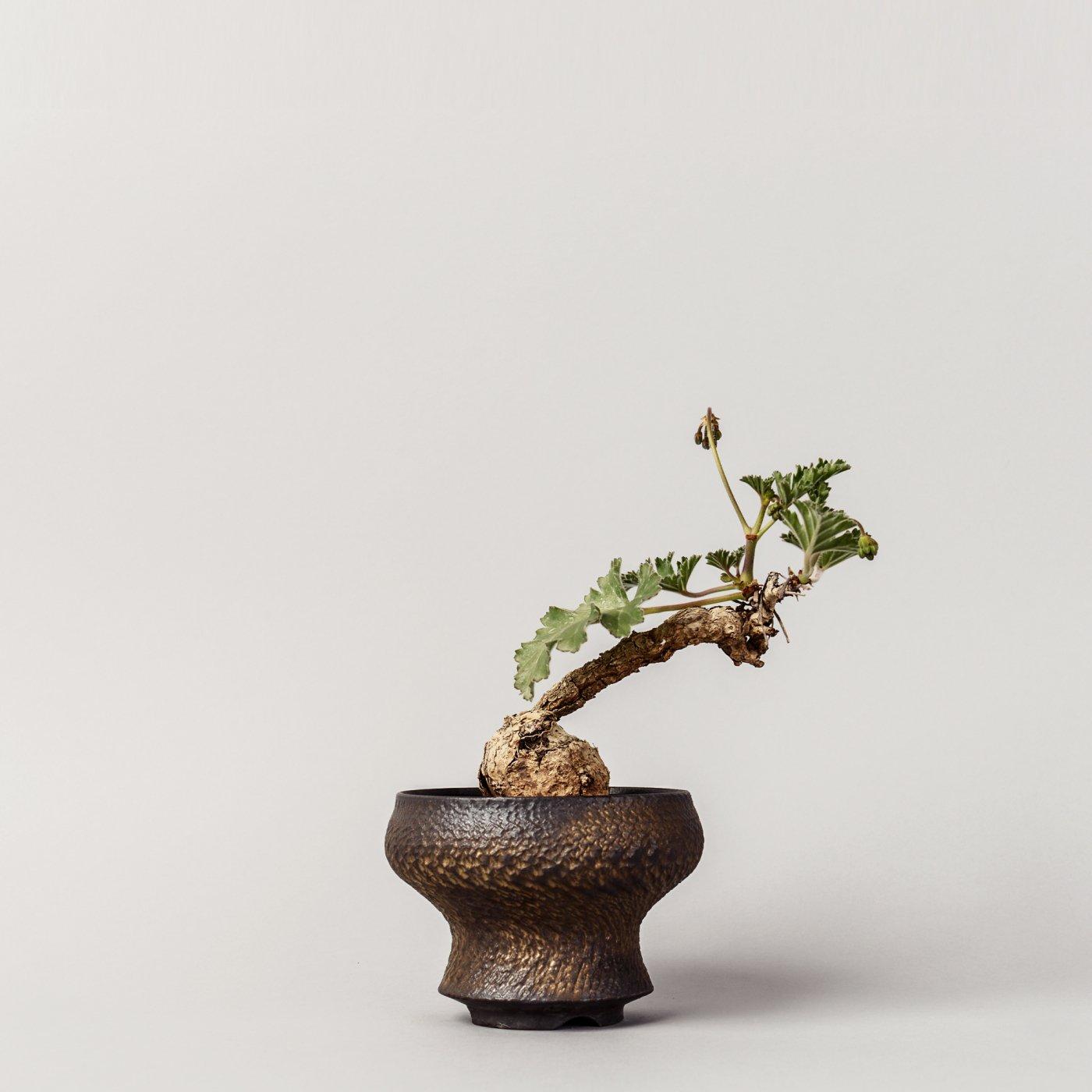 "Pelargonium SP × ""GOUJIN""POT"