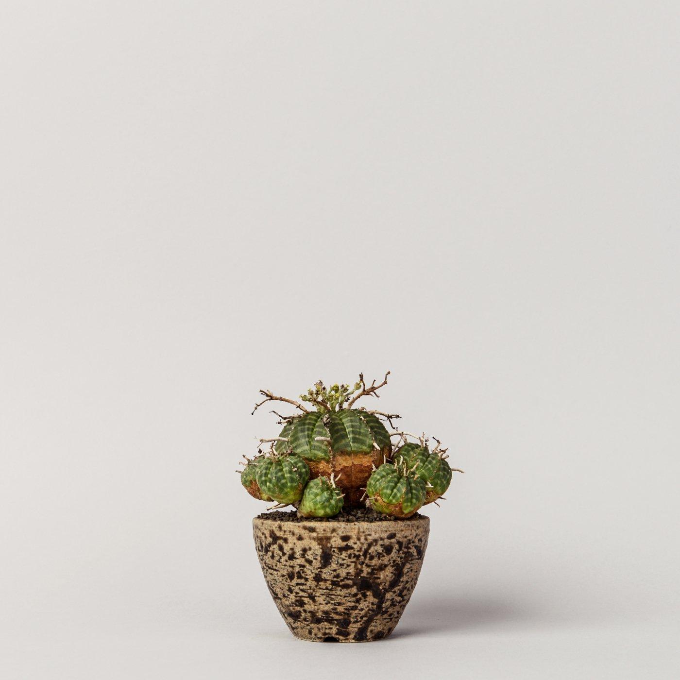 """Euphorbia valida 小吹 × """"SHO-DO""""POT"""