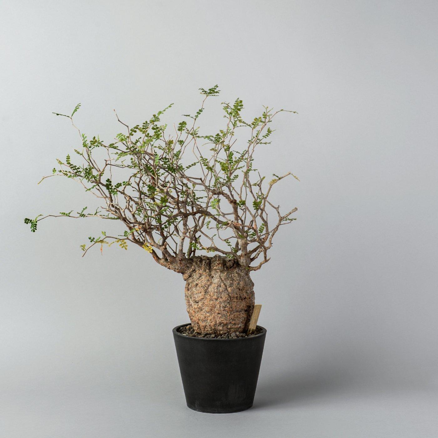 Operculicarya pachypus × PLASTIC POT