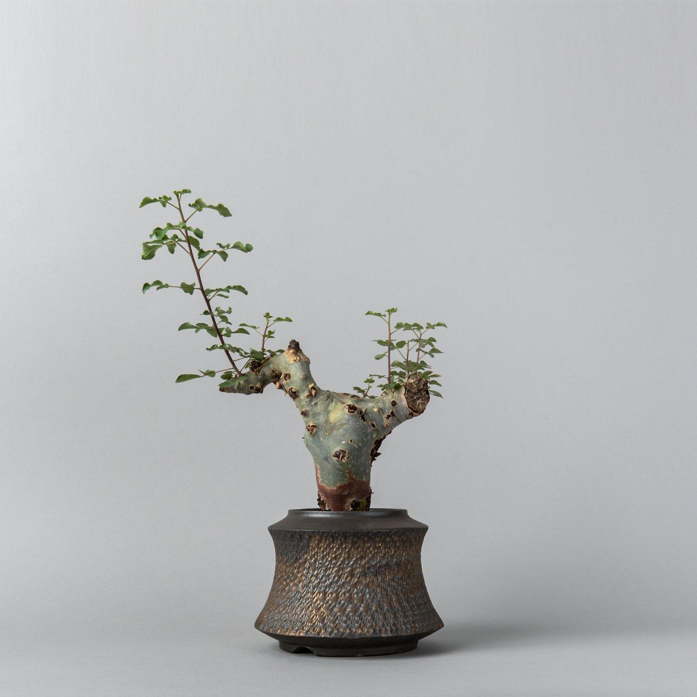 "Commiphora kataf ver.turkanensis × ""GOUJIN""POT"
