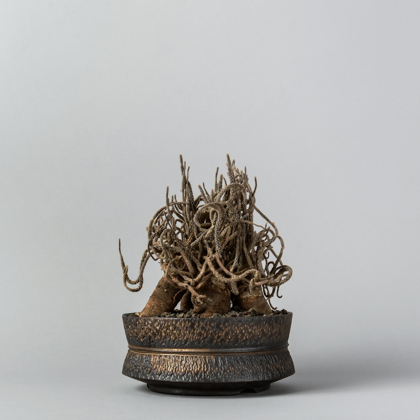 "Pterocactus tuberosus × ""GOUJIN""POT"