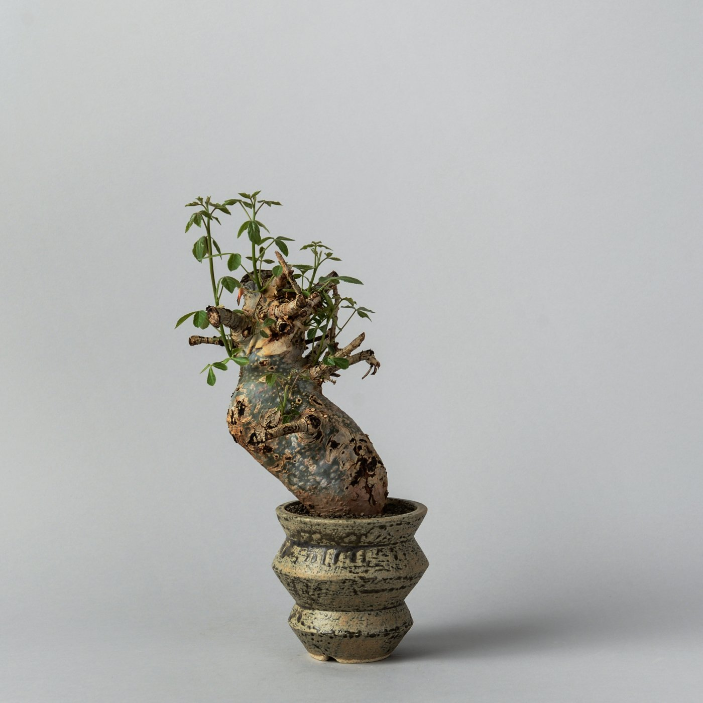 "Commiphora holtziana × ""SHO-DO""POT"