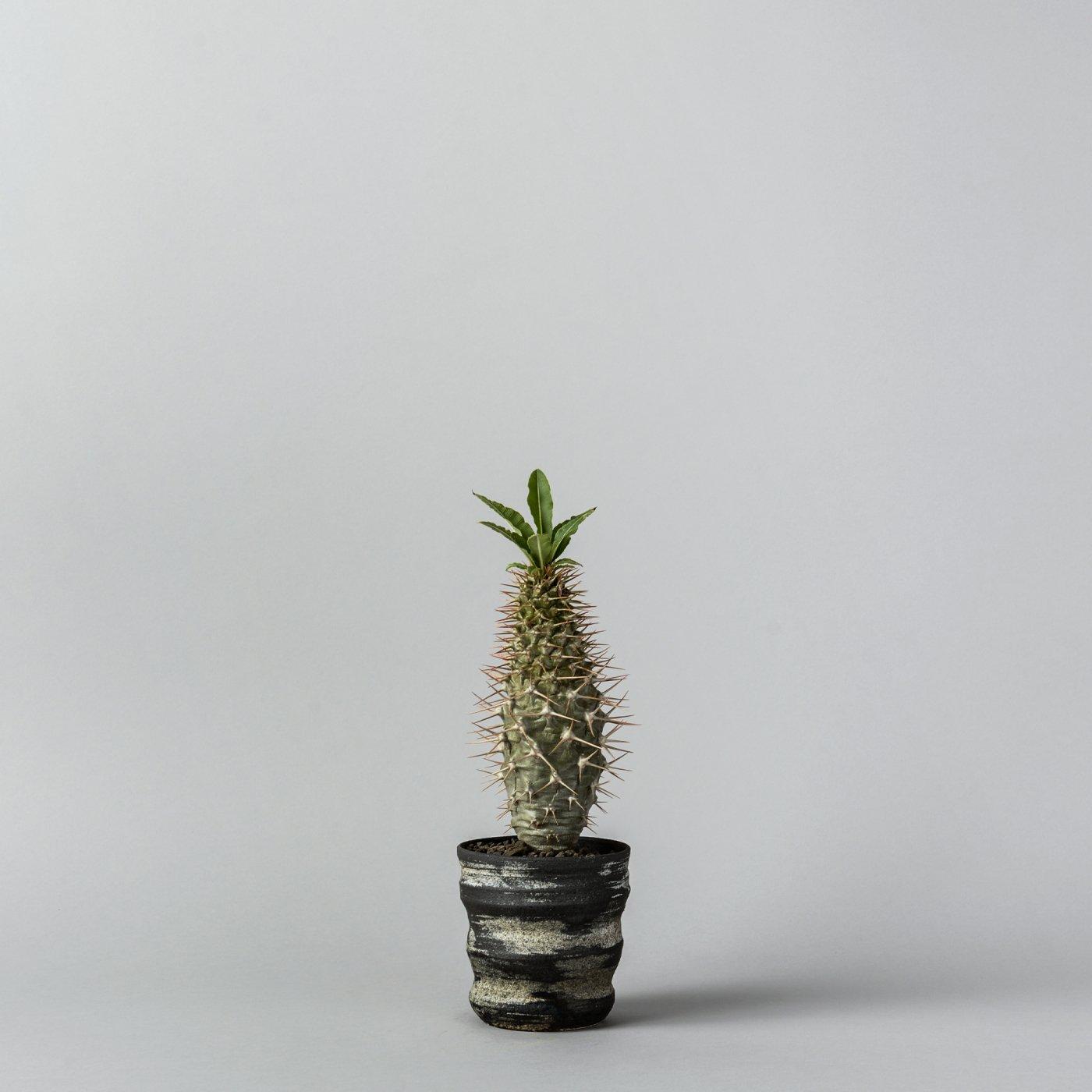 "Pachypodium lamerei var.ramosum × ""SHO-DO""POT"