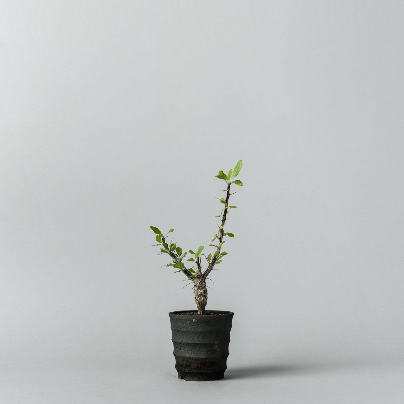 """Fouquieria diguetii × """"SHO-DO""""POT"""