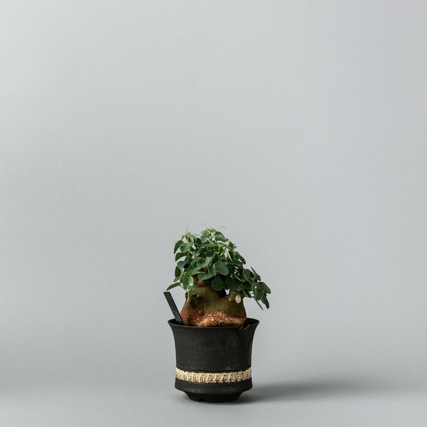 """Adenia spinosa × """"GOUJIN AK LINE""""POT"""