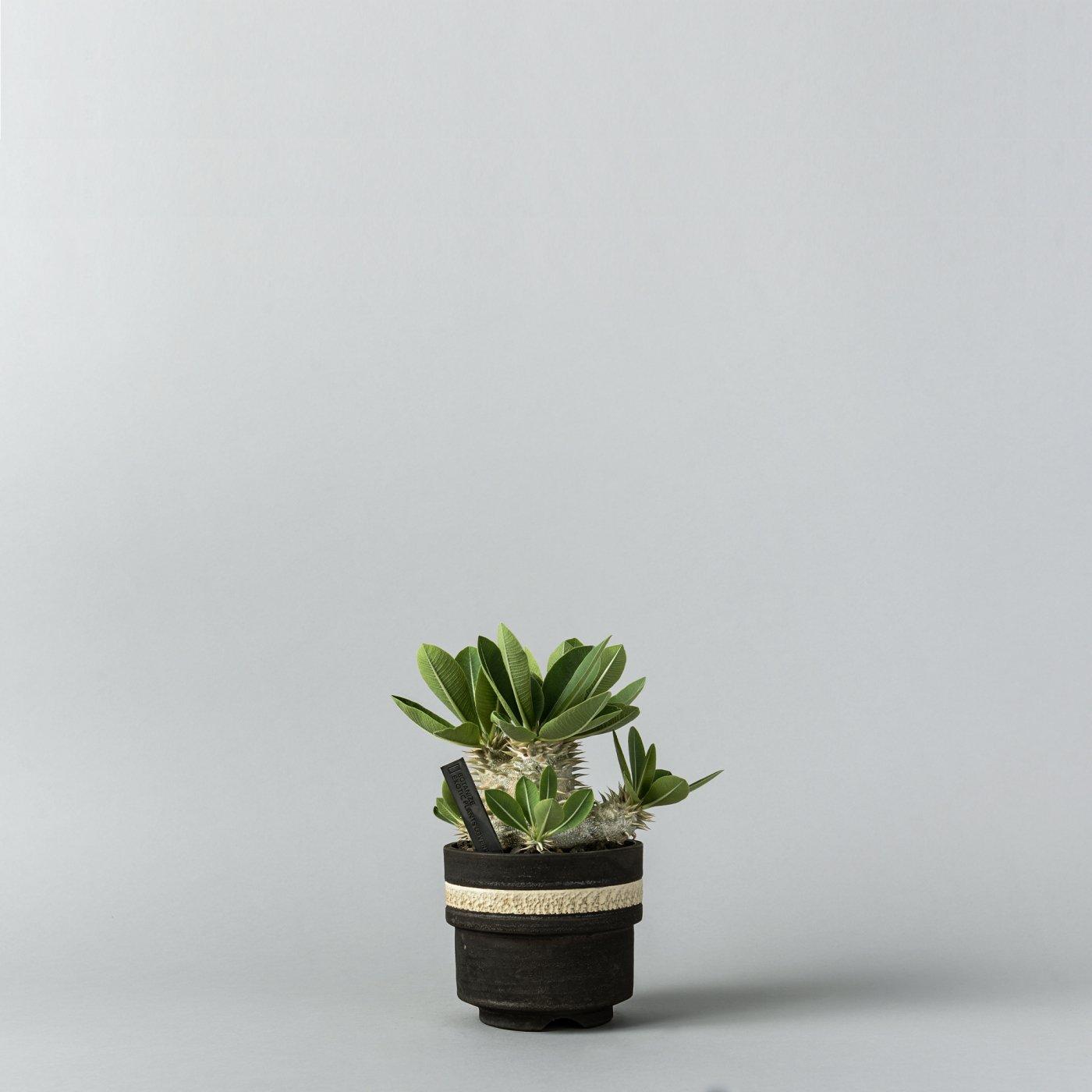 """Pachypodium densiflorum × """"GOUJIN AK LINE""""POT"""