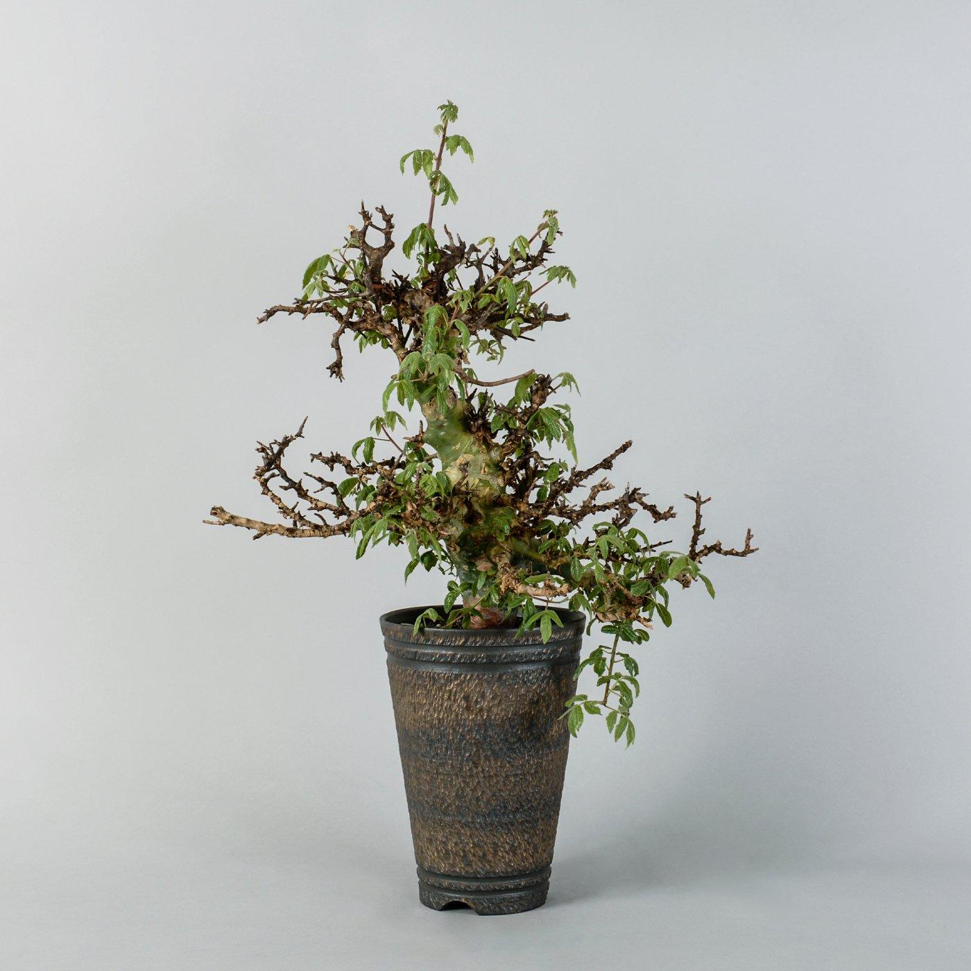 "commiphora africana × ""GOUJIN""POT"