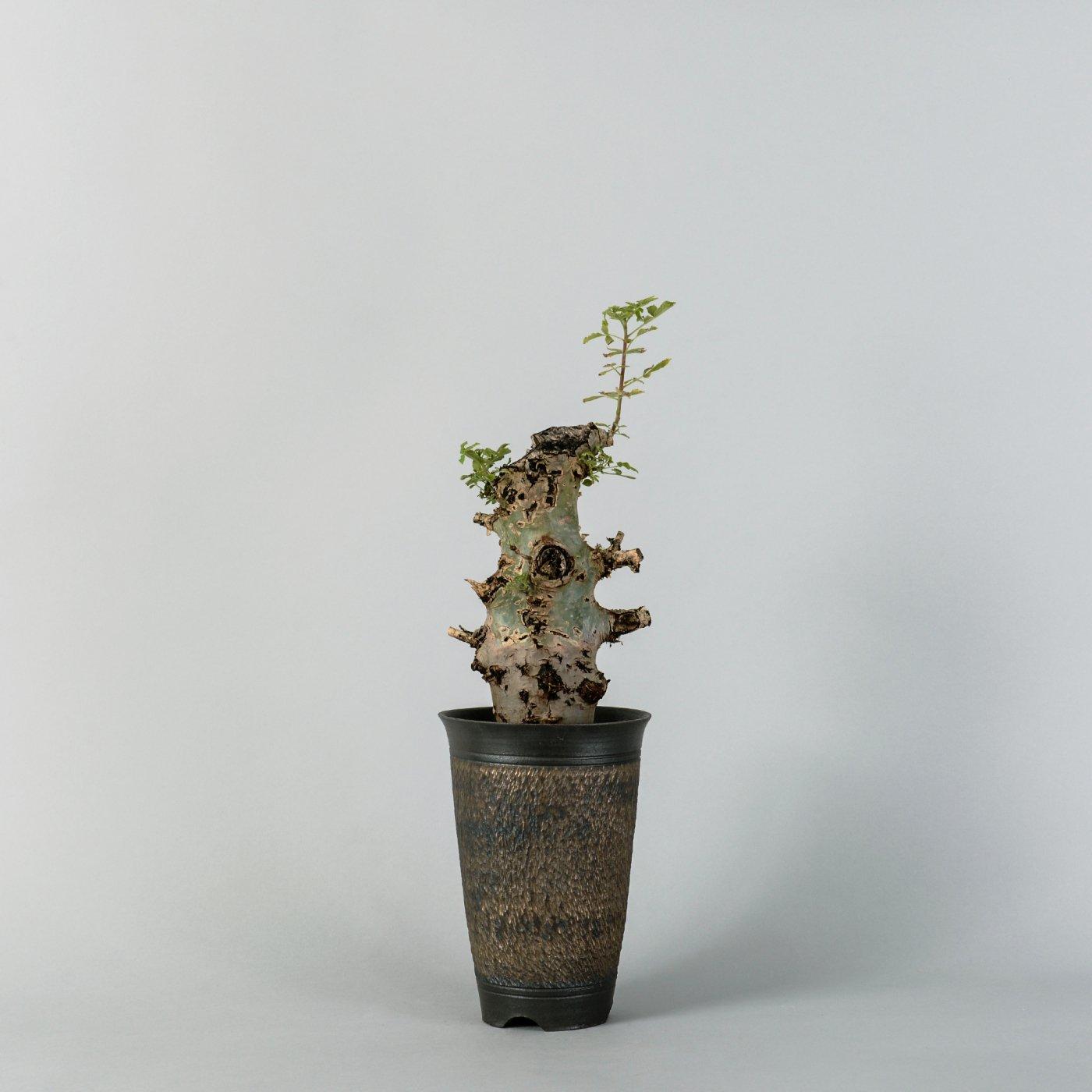"""commiphora holtziana × """"GOUJIN""""POT"""