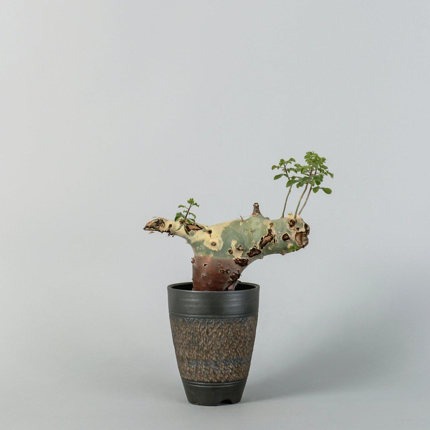 "Commiphora kataf var turkanesis × ""GOUJIN""POT"
