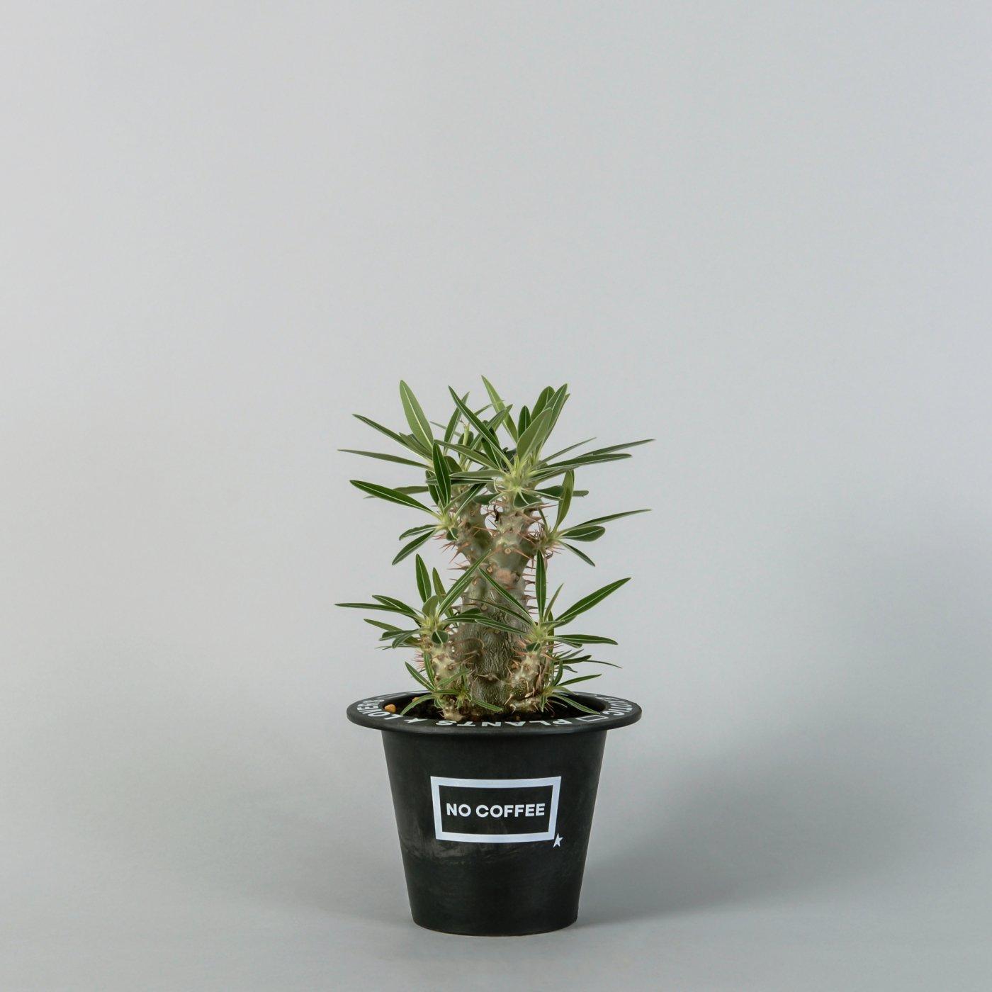 """Pachypodium rosulatum var. gracilius  × """"NOCOFFEE×BOTANIZE""""POT"""