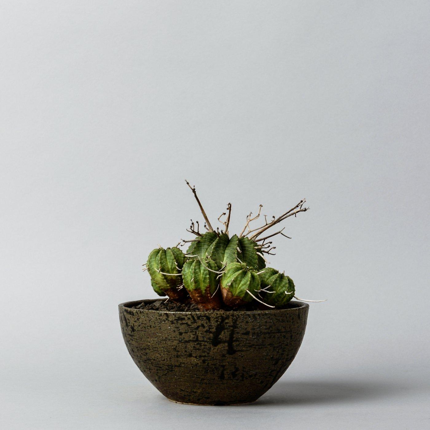 "Euphorbia valida × ""sho-do""POT"
