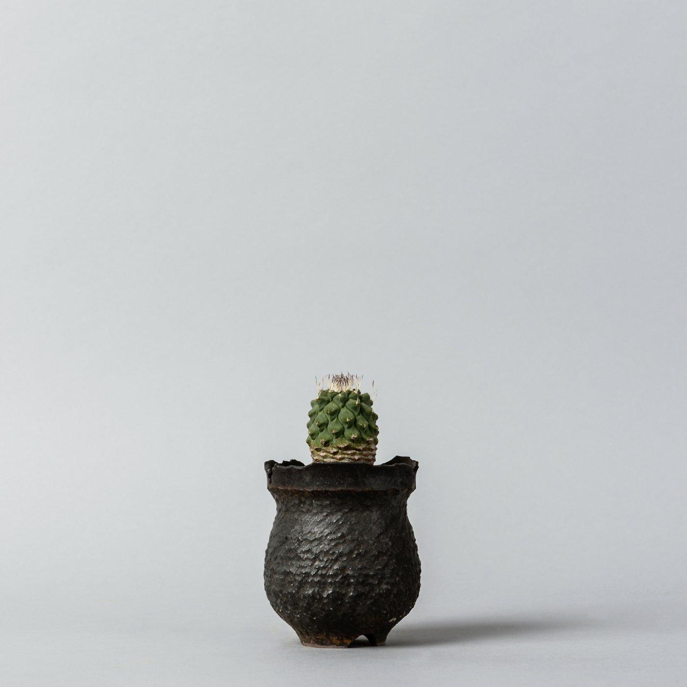 "Strombocactus disciformis × ""GOUJIN""POT"