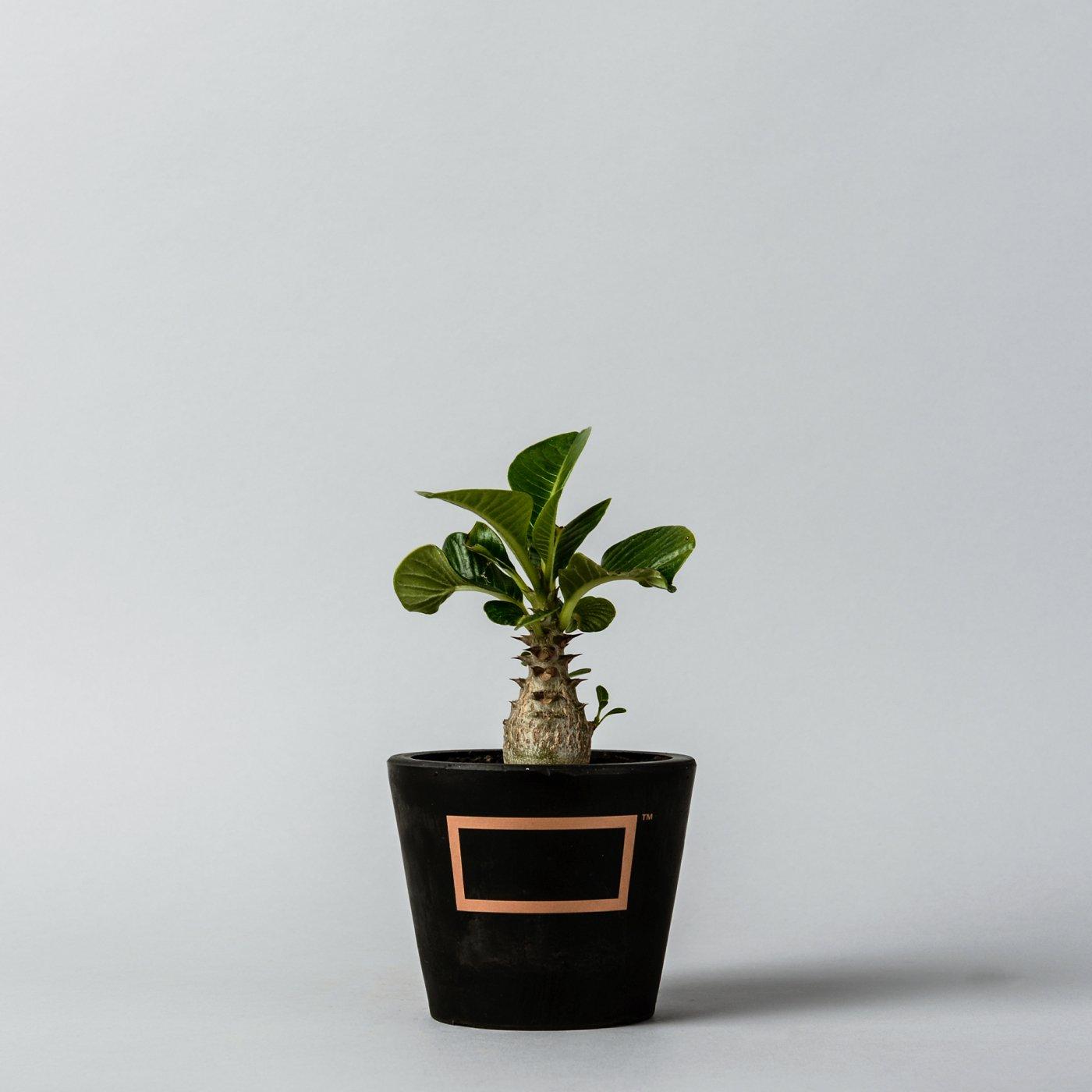Pachypodium baronii var. windsorii  ×  PLASTIC POT SP Bronze