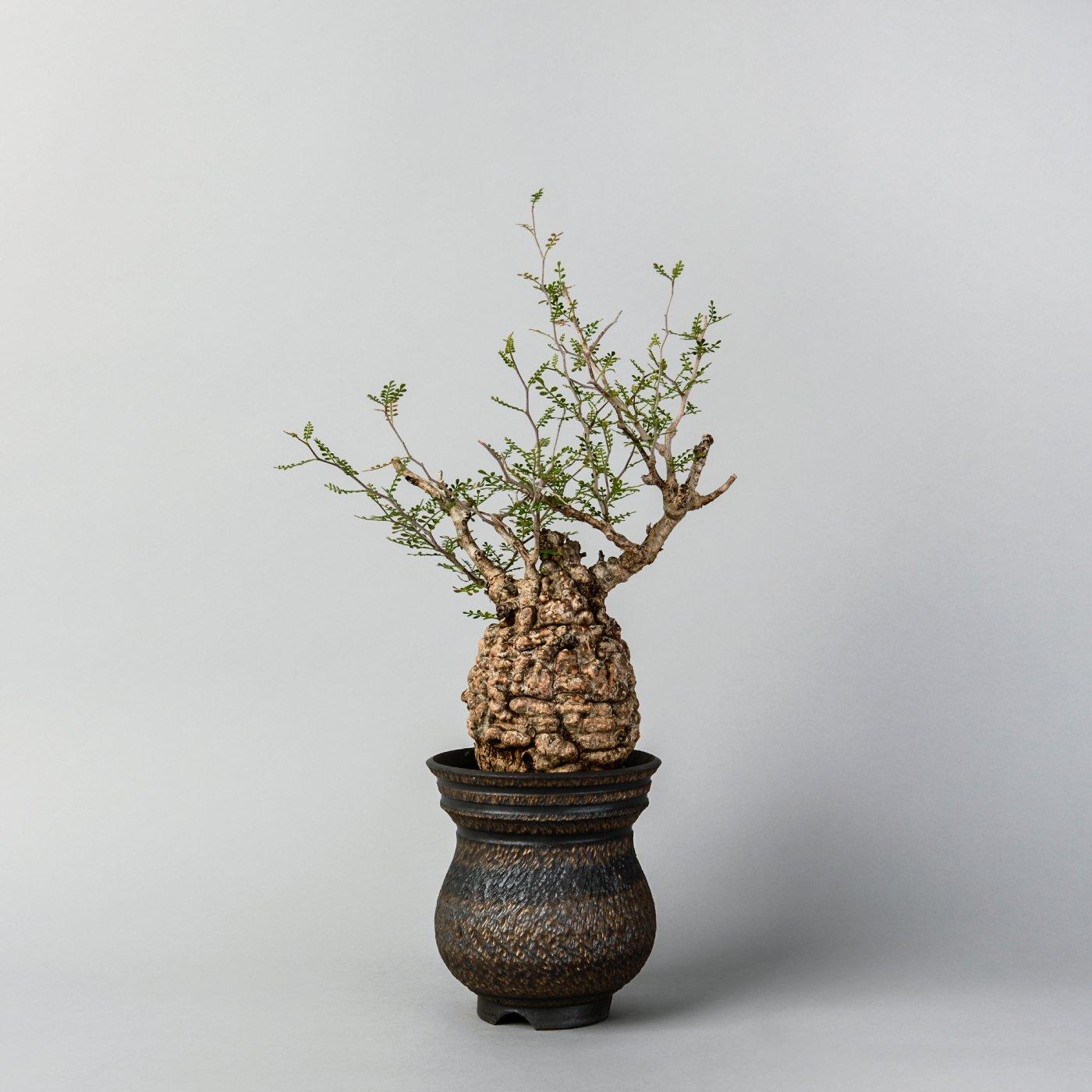 "Operculicarya pachypus × ""GOUJIN""POT"