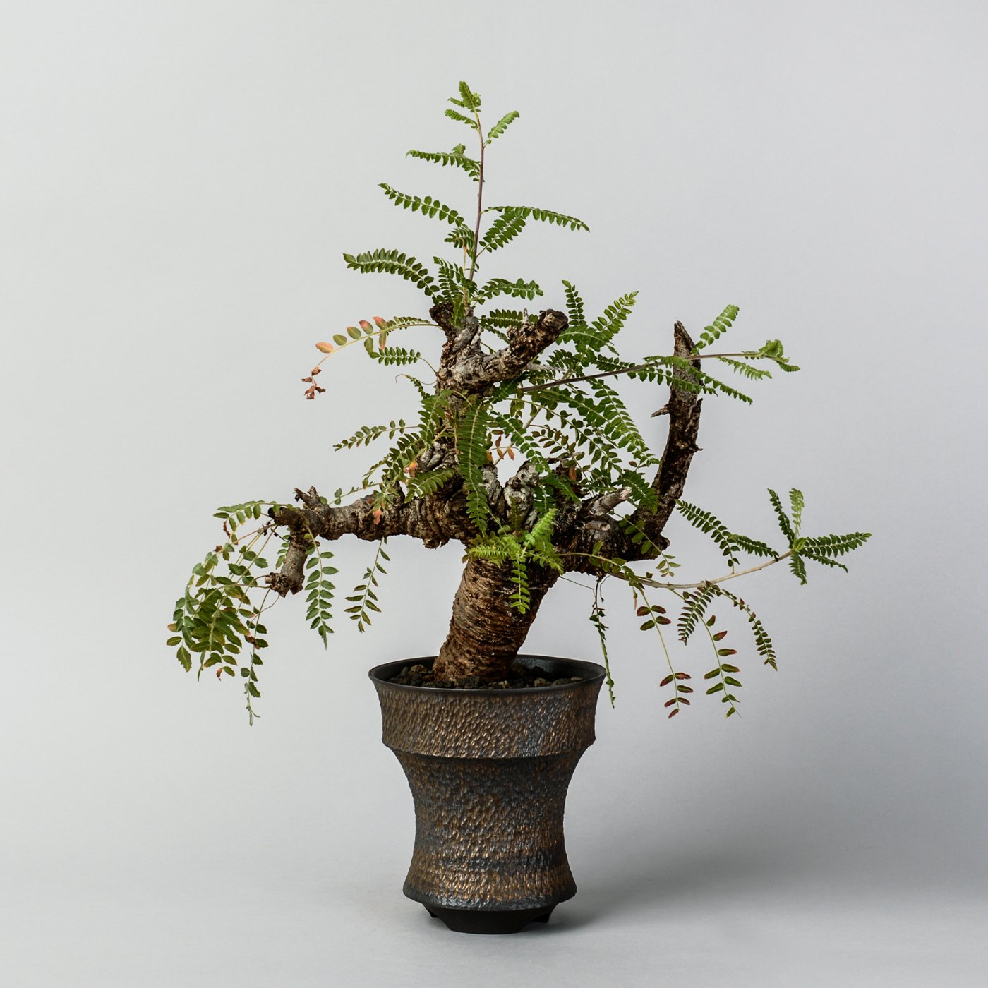 "Boswellia neglecta × ""GOUJIN""POT"