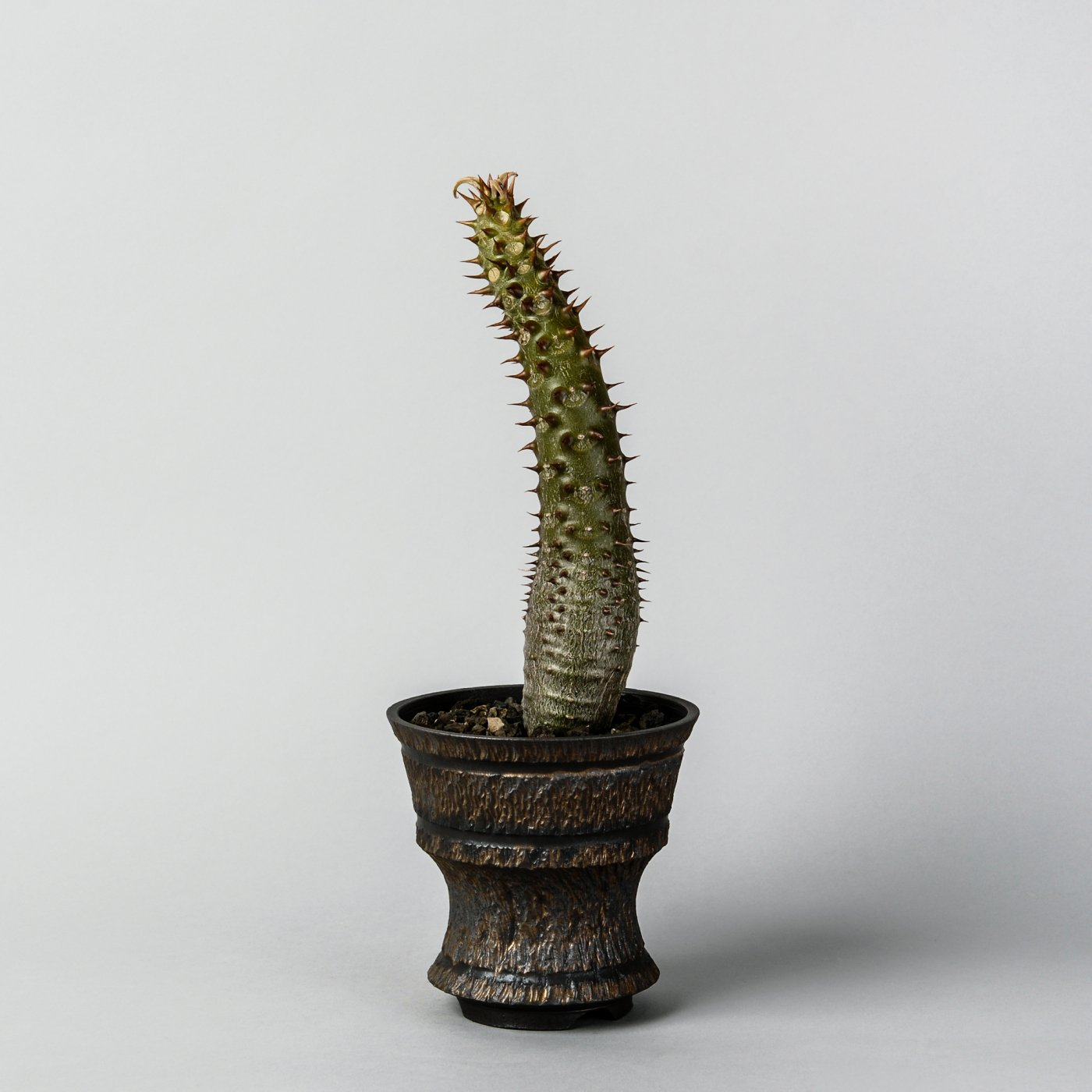 """Pachypodium baronii × """"GOUJIN""""POT"""